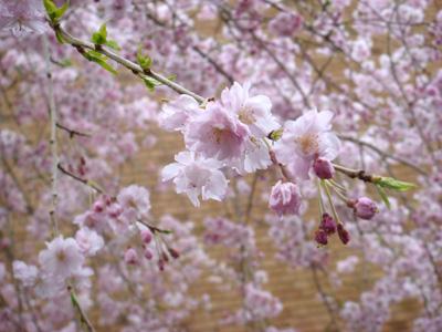 2008.3..30国立・桜