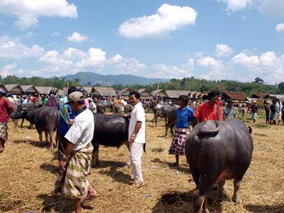 2009.8.16タナトラジャ・水牛市場