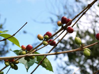 2009.8.17タナトラジャ・コーヒー農園