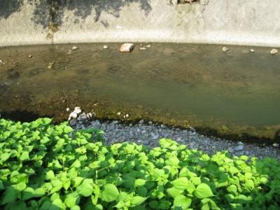 1号魚道下流淵