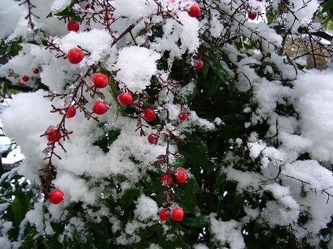 雪をかぶった南天