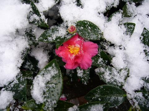 雪の中に咲くサザンカ