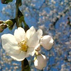 桜って美味しいの?