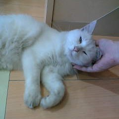 化粧品店に出入りする白猫