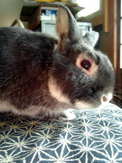 赤い眼をしたウサギ