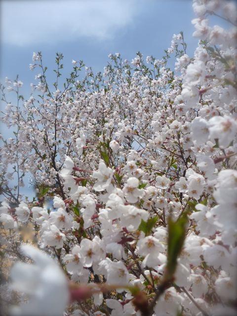 2012桜.jpg