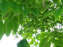 櫨の木新芽