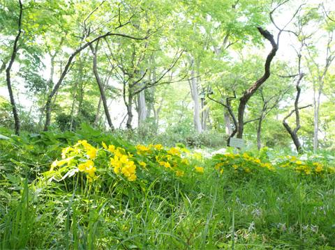 井之頭公園 黄色の花