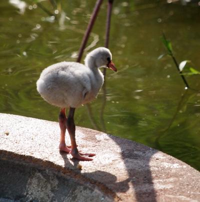 多摩動物公園 フラミンゴ
