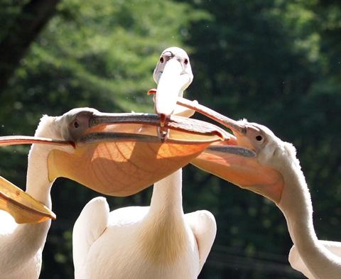 多摩動物公園 ペリカン