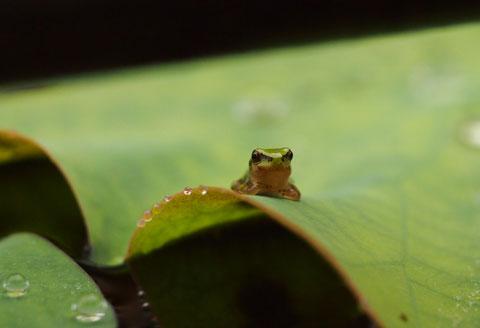 神代植物公園 カエル