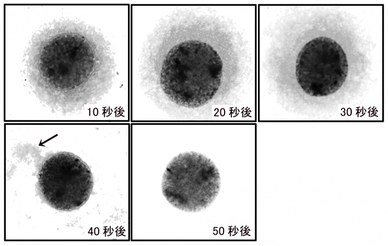 細胞質の変化.jpg
