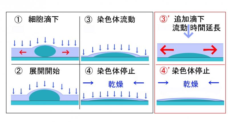 染色体展開流動図2.jpg