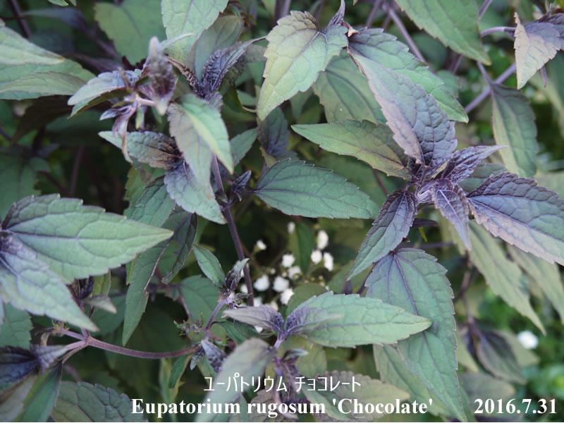ユーパトリウム・チョコレート(銅葉フジバカマ)の写真・画像