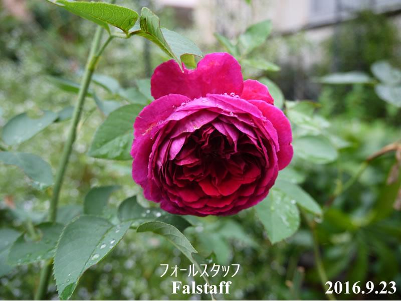 赤バラのフォールスタッフ秋の花