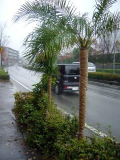 椰子の木冬支度