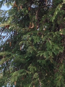 タマリンドの木
