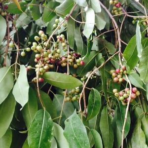 ジャムンの木