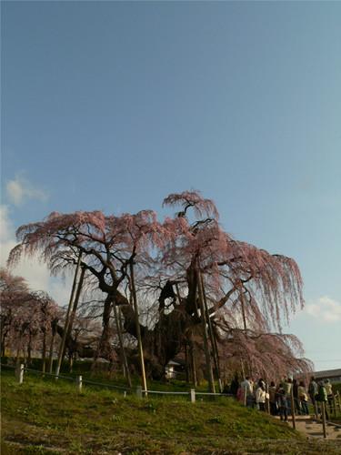 4月15日の滝桜