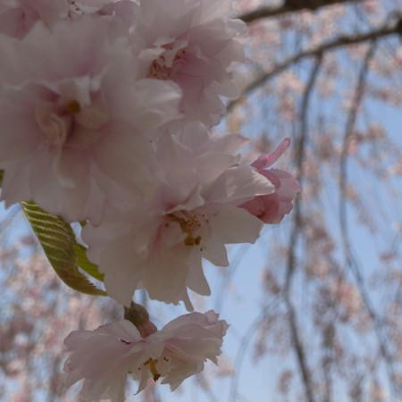 八重の枝垂桜