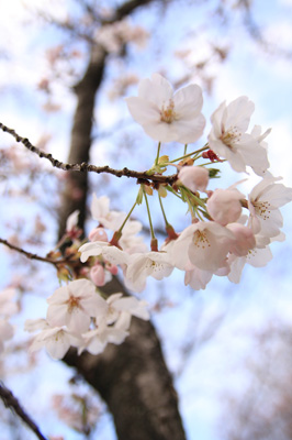 桜きれいねー