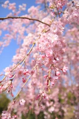 枝垂れ桜がとってもきれい
