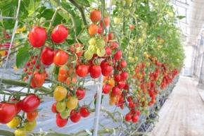 プチトマトのイメージ