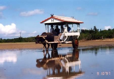 西表の浅瀬を由布島へ向かう水牛車