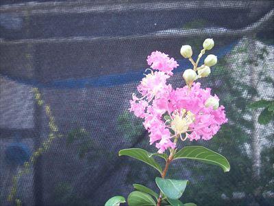 百日紅花2