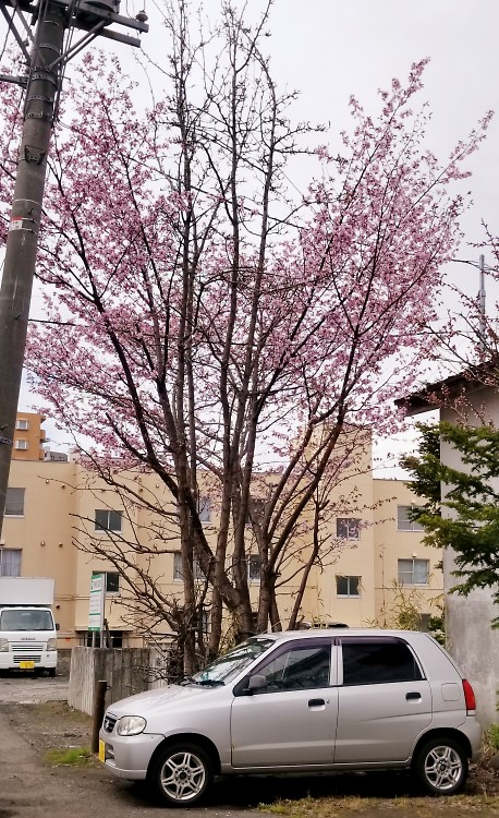 札幌市内 桜 4/26