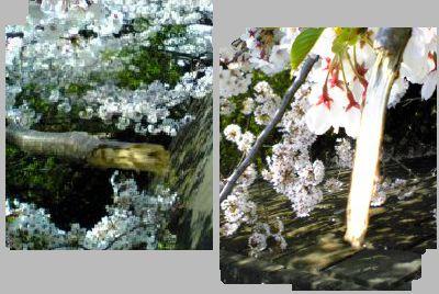 折られた桜2