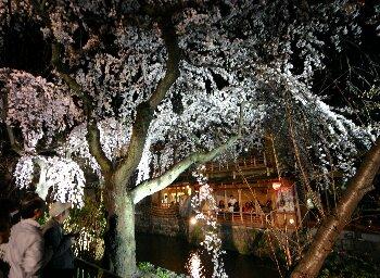 桜と祇園かにかくに