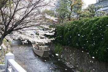 一之舟入の桜