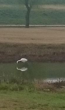 錦が原ゴルフ場の白鳥
