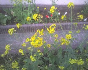 20090331a 菜の花