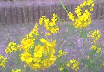 20090331b 菜の花