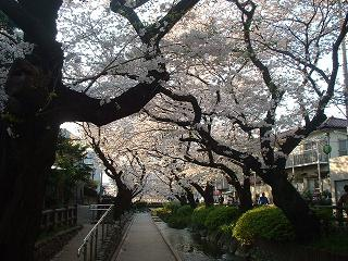 20090407b 桜