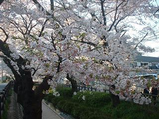 20090407c 桜