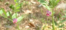 20090417c 雀野豌豆