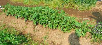 20090512a 畑