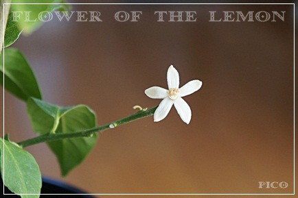 レモンの花が咲いた♪