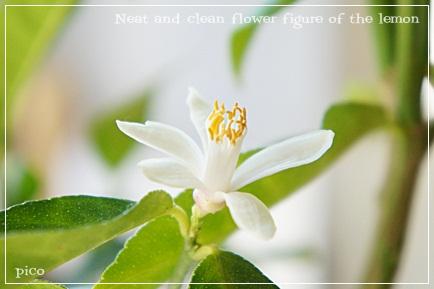 アレンユーレカレモンの花