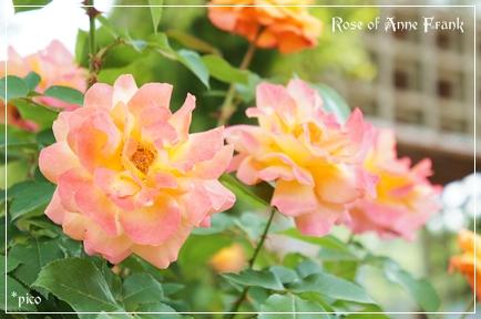 花フェスタ記念公園「アンネのバラ」