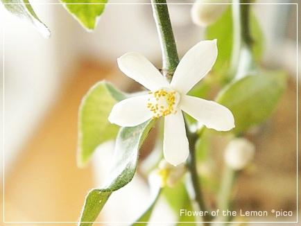 レモンの花 2013