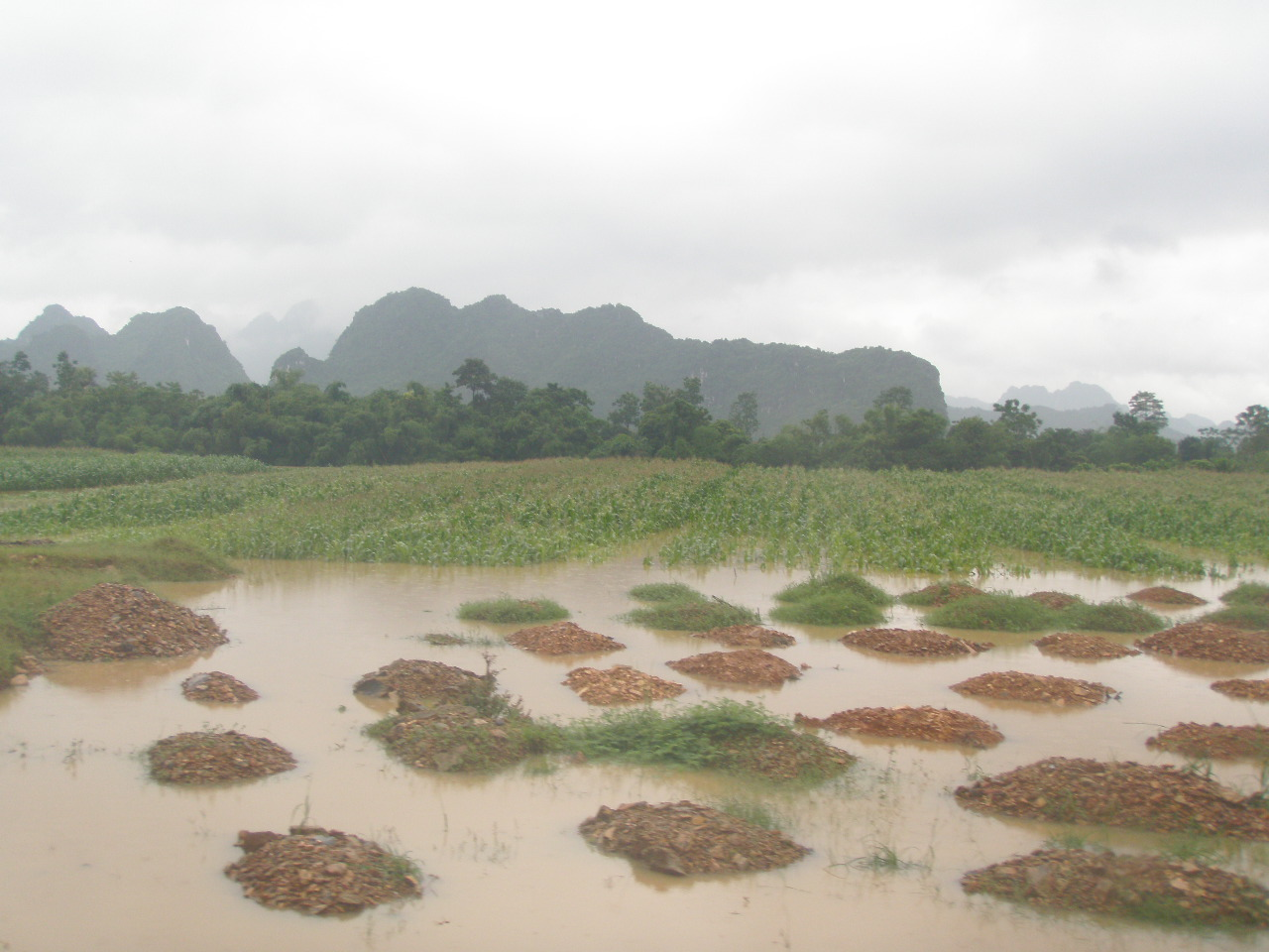 水に浸かったトウモロコシ畑