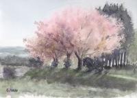 八重桜 double cherry blossom