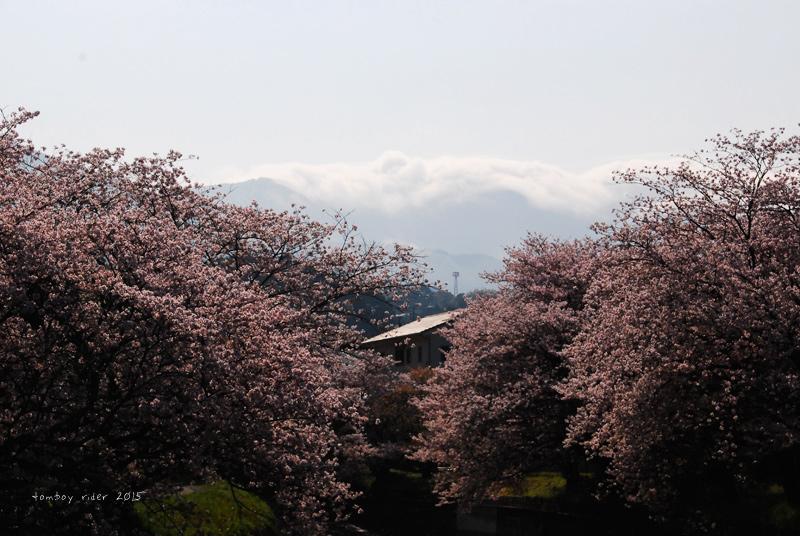 2015sakura1.jpg