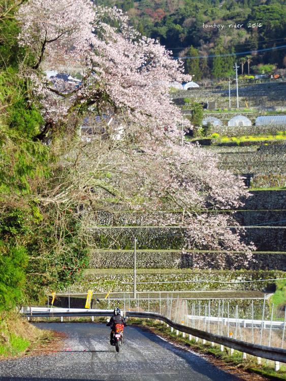 chikuiwa81.jpg