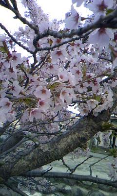 1週間くらい前の桜。