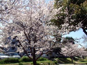 桜を見ました☆